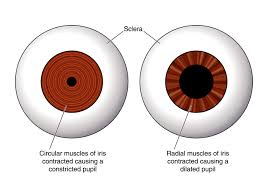 iris muscles