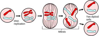 mitosis.png
