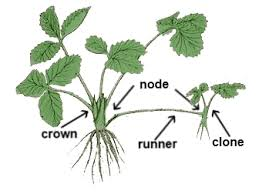 runner plant