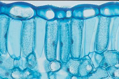 leaf cell