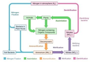 nitrogencycle2_med